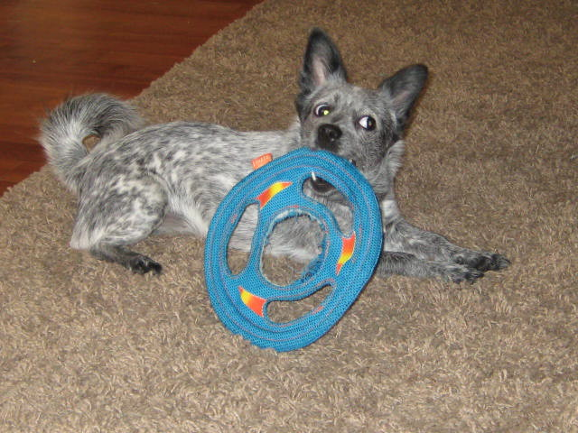 Blueberry loves her doggy frisbee.jpg